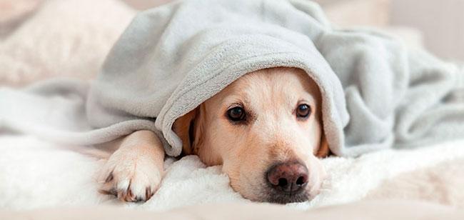 Si tu cachorro vomita, debes aprender a reconocer los tipos de secreciones, así como sus causas, para saber cómo tratarlo. Consulta siempre con tu veterinario