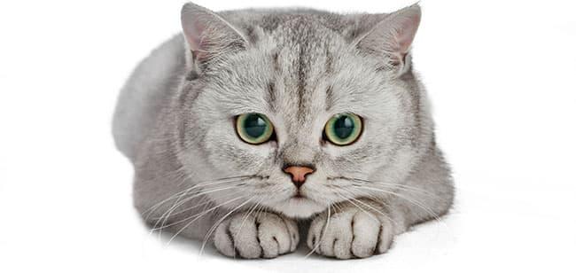 pupilas dilatas gatos